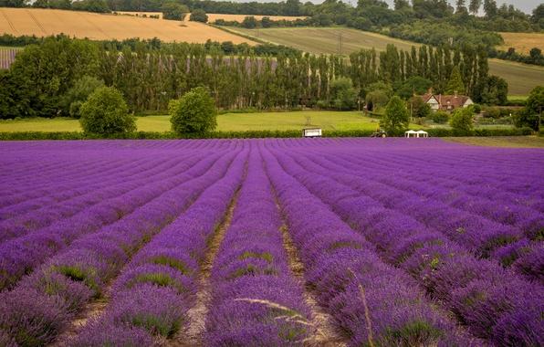 Картинка поле, деревья, цветы, дом, поля, трактор, лаванда
