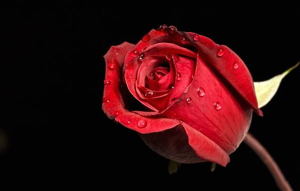Картинка цветок, капли, роса, роза, лепестки, бутон