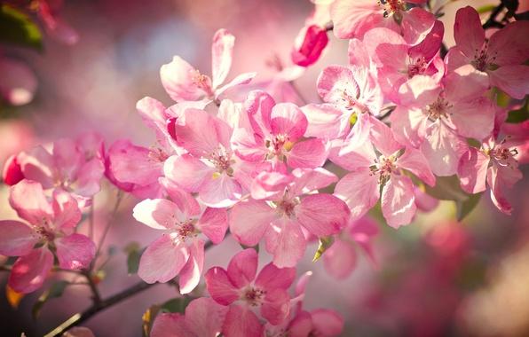 Картинка макро, вишня, ветка, весна, цветение, цветки, боке