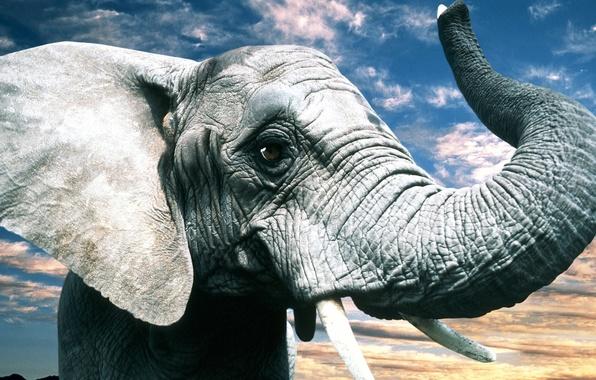 Картинка глаза, природа, серый, слон, уши, хобот