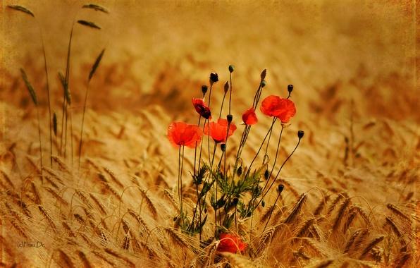 Картинка поле, цветы, природа, фото, фон, обои, маки, растения, колоски