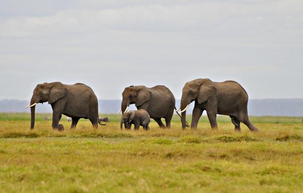 Картинка небо, трава, холм, слоны, миграция