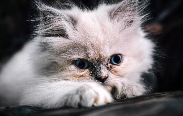 Картинка пушистый, мордочка, котёнок, голубые глаза