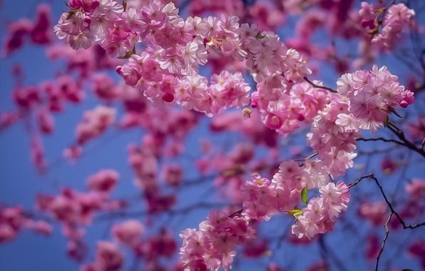 Картинка ветки, вишня, обработка, сакура, цветение