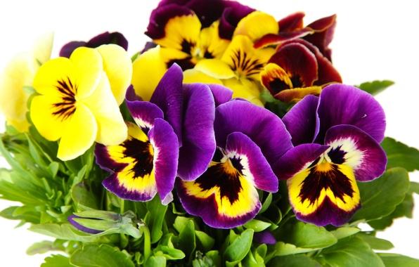 Картинка цветы, анютины глазки, yellow, garden, violet, white background, Viola