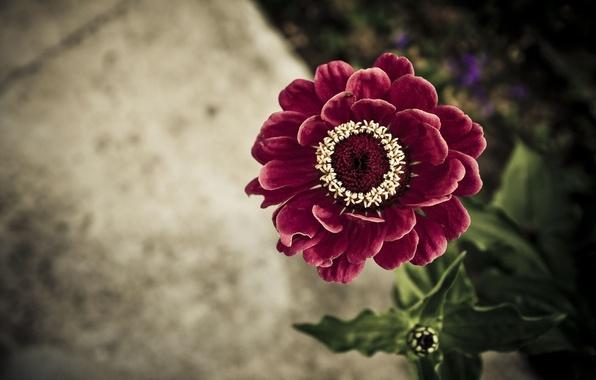 Картинка цветок, листья, фон, циния