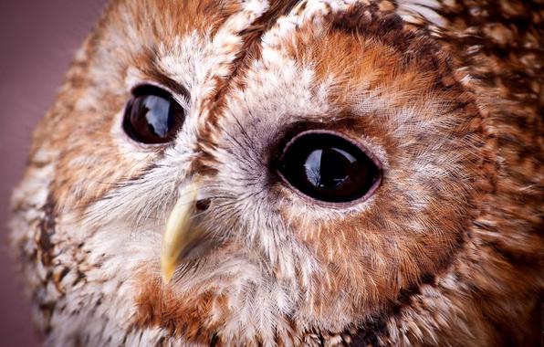 Картинка взгляд, сова, портрет, мордочка, совушка, Strix aluco, Tawny owl, серая неясыть