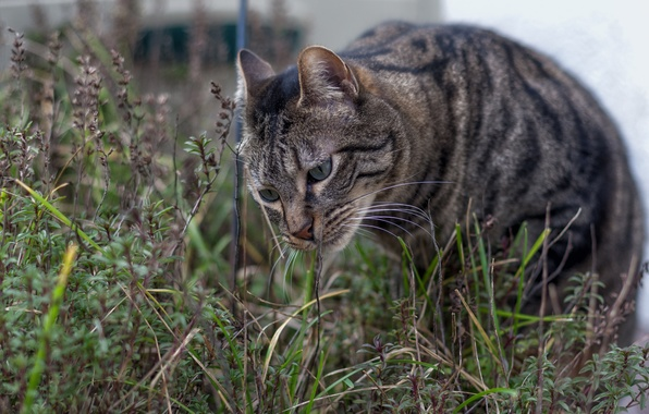 Фото обои полосатый, трава, котяра, глаза, кот