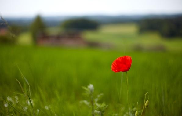 Картинка зелень, поле, трава, цветы, красный, фон, обои, мак, wallpaper, цветочки, flower, широкоформатные, background, полноэкранные, HD …