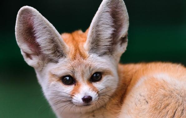 Картинка взгляд, мордочка, лиса, фенек, большие уши