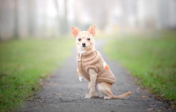Фото обои взгляд, собака, позирование, прогулка, чихуахуа, жилетка, собачонка, одёжка