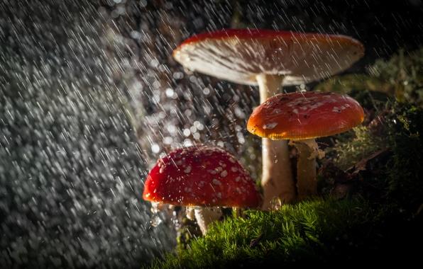 Картинка лес, капли, макро, свет, природа, дождь, грибы, мухоморы, боке