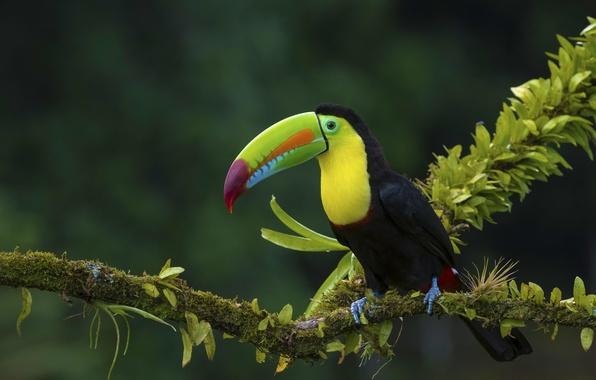 Картинка лес, птица, ветка, джунгли, тукан