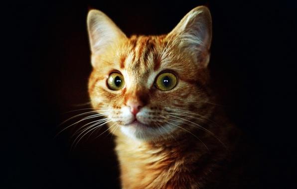 Картинка кошка, глаза, кот, взгляд, морда, фон, темный, рыжий, зеленые