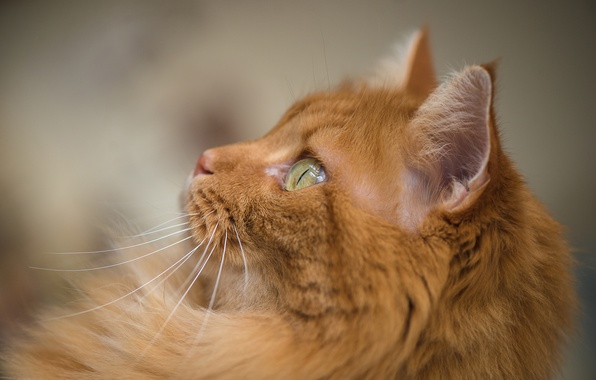 Картинка кошка, кот, взгляд, мордочка, рыжая, боке, рыжий кот