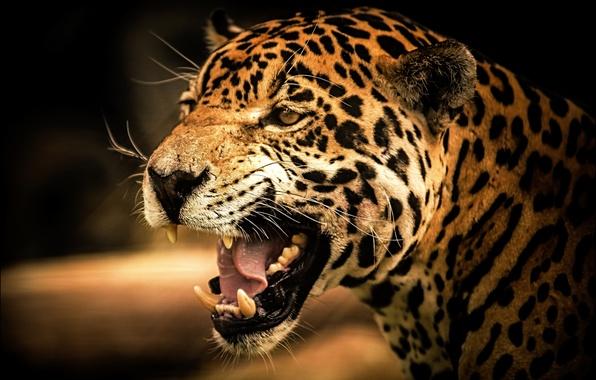 Картинка кошка, взгляд, Jaguar, хищник, ягуар, cat, дикая, view, predator, рык, wild, roar