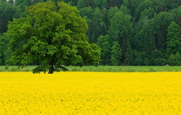 Картинка поле, лес, деревья, цветы, природа, дерево, весна, Май, дуб, рапс