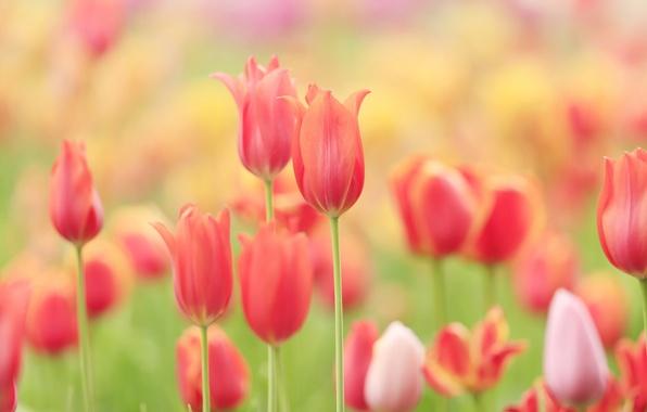 Картинка поле, природа, лепестки, луг, тюльпаны