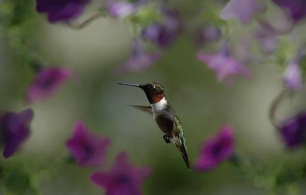 Картинка макро, полет, цветы, птица, размытость, колибри, птичка