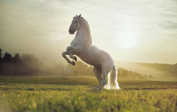 Картинка поле, закат, природа, животное, белая лошадь