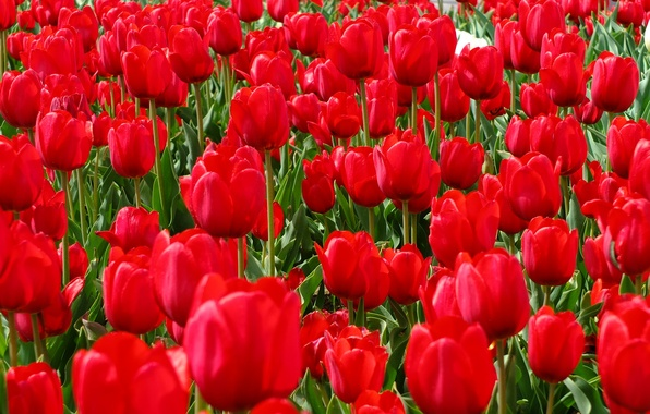 Картинка поле, весна, лепестки, сад, луг, тюльпаны