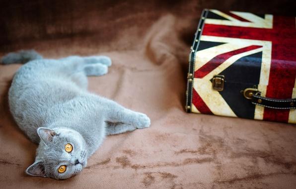 Картинка кошка, глаза, кот, серый, желтые, флаг, Великобритания, лежит, чемодан, британец