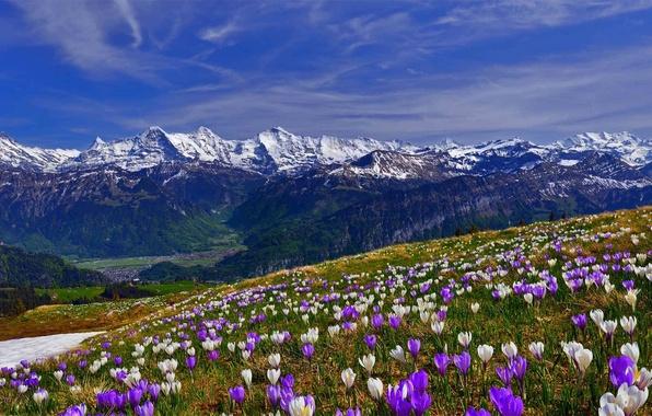 Картинка трава, снег, цветы, горы, весна, склон, крокус