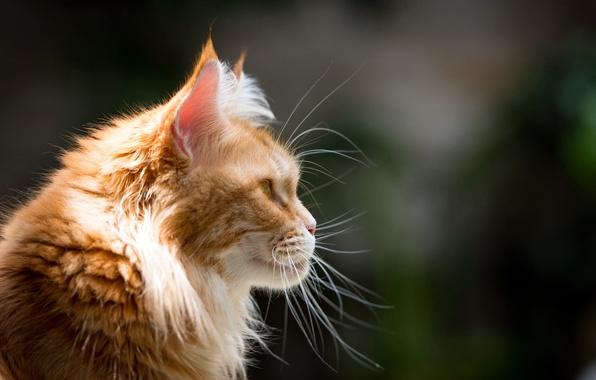 Картинка кот, усы, морда, рыжий, профиль, Мейн-кун