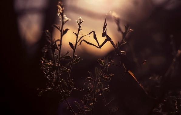 Фото обои листья, свет, ветки, растение, богомол, освещение, силуэт, насекомое