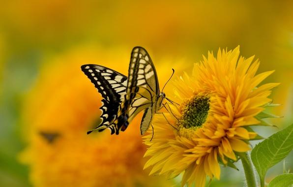 Картинка цветок, природа, бабочка, краски, крылья, лепестки, махаон