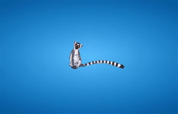 Картинка минимализм, хвост, лемур, полосатый, синий фон, lemur