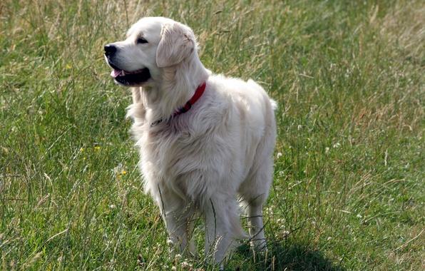 Картинка поле, лето, друг, собака