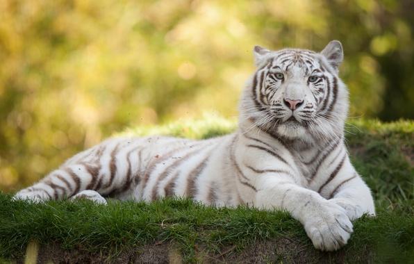 Картинка кошка, трава, белый тигр