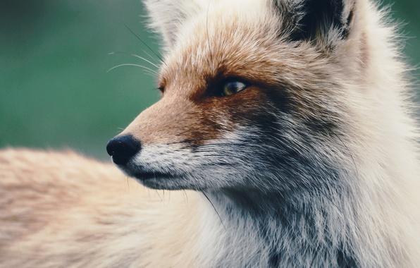 Картинка взгляд, шерсть, лиса, лисица