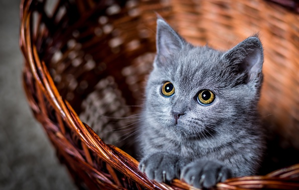Картинка глаза, кот, взгляд, котенок, корзина, котик, смотрит, котэ