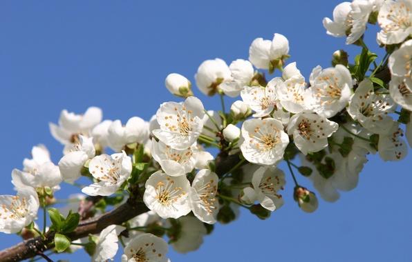 Картинка цветы, вишня, красота, ветка, весна, лепестки, сакура, нежные, white, белые, бутоны, цветение, flowers, leaves, Spring, …