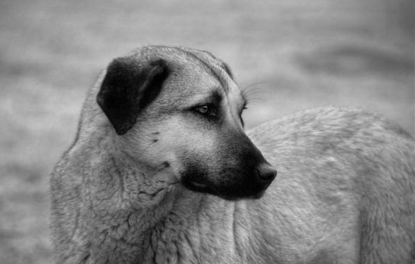 Фото обои пёс, взгляд, грусть, собака