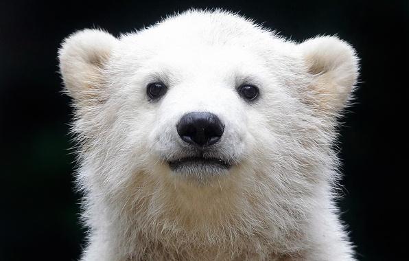 Картинка белый медведь, полярный медведь, Ursus maritimus, ошкуй, морской медведь, северный медведь