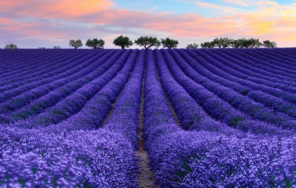Картинка поле, небо, облака, цветы, дерево, Франция, лаванда, Прованс