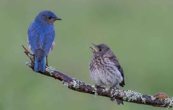 Фото обои птицы, ветка, птенец, лазурные птицы, сиалии