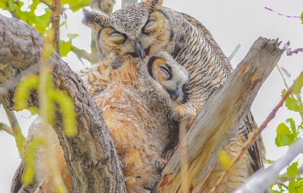 Картинка птицы, ветки, совы, птенец, материнская любовь, Виргинский филин