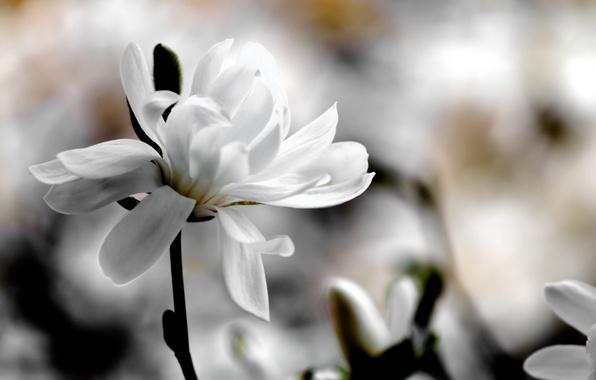Картинка белый, цветок, макро, цветы, фон, весна, размытость, магнолия