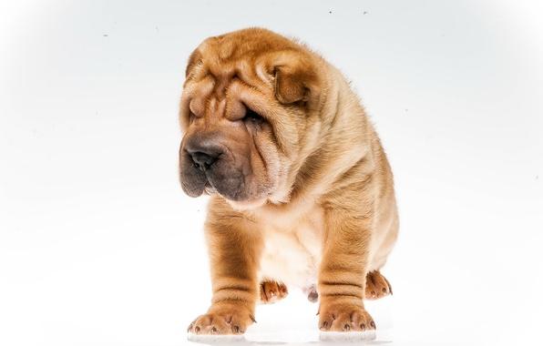 Картинка собаки шарпей