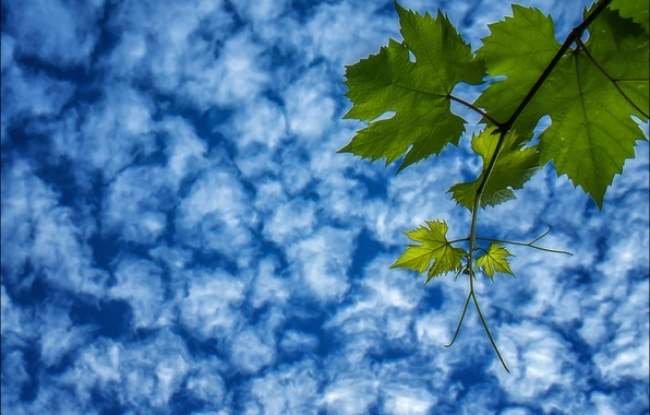 Картинка небо, листья, облака, ветка, виноград