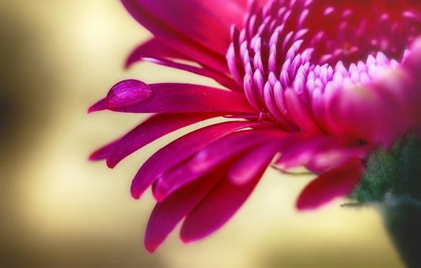 Картинка цветок, красный, капля, лепестки, хризантема