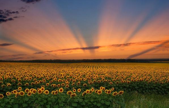 Картинка поле, небо, облака, закат, цветы, подсолнух