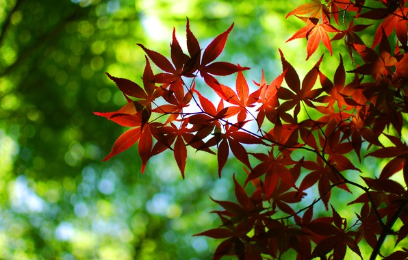 Картинка зелень, осень, листья, деревья, красный, природа, зеленый, дерево, листва, листок, листочки, листочек, листки, широкоформатные обои, …