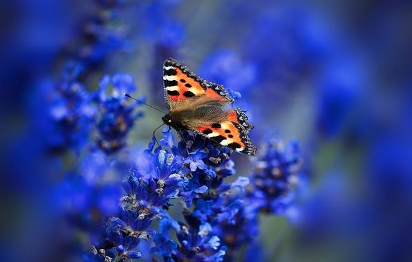Картинка макро, цветы, бабочка, крылья, мотылек, соцветие, крапивница