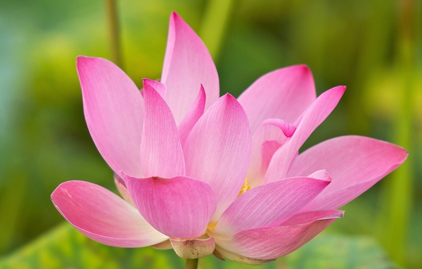 Картинка цветок, вода, лепестки, лотос