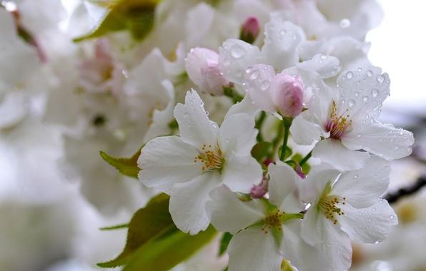 Картинка капли, макро, вишня, цветение